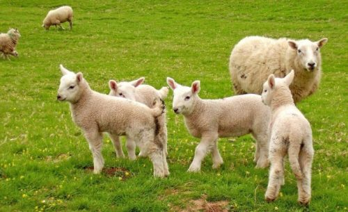 sheep-and-lambs-in-field